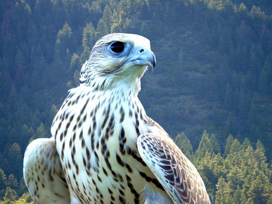 Funny white falcon bird |Funny Animal
