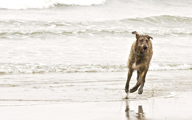 Notes from the Pack - a dog blog. An Irish Wolfhound romps in the sea.