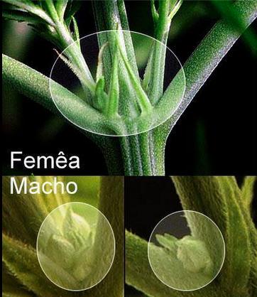 Diferença entre cannabis macho e fêmea