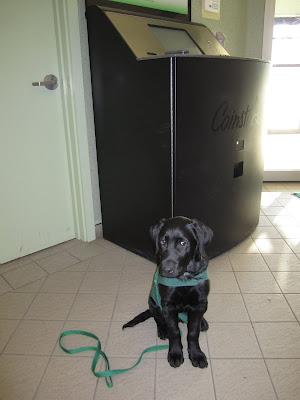 Black lab puppy Romero is in sit stay in front of a big black machine in a bank lobby. Romero is wearing his green future dog guide jacket and his long green nylon leash is draped over his back. He has just turned his head slightly to the side, so his eyes are shifted over to his left. The sun is shining in from the entrance doors behind him.