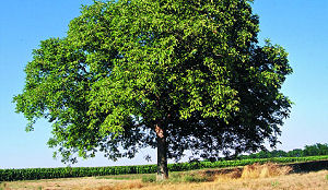 mon arbre le de vivre le douaire tout avoir sur le noyer juglans conseils plantation. Black Bedroom Furniture Sets. Home Design Ideas