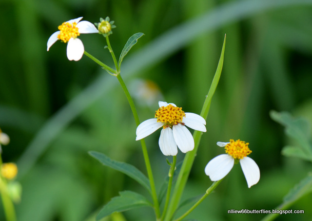 Bidens pilosa (all year)