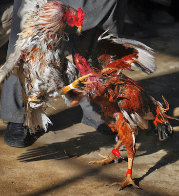 Afghanistan, Rooster, Animal, Ring, Fighting, Cock, Kabul, Cockfighting, Poverty, Entertainment, Sports, Offbeat, Murgh Janghi,  Taliban , Economy, Crowd, Spectator,