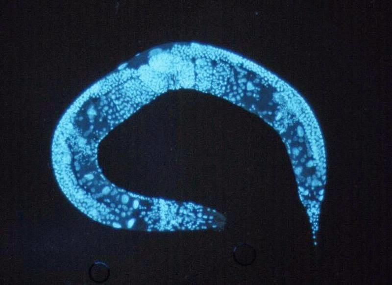 Image of a Caenorhabditis elegans specimen
