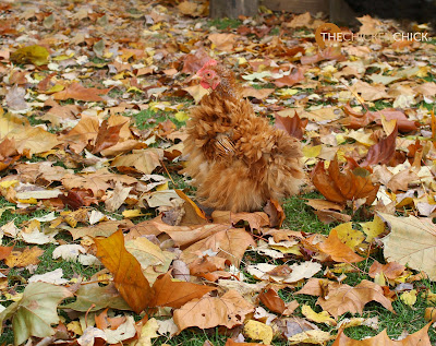 Rachel (bantam frizzled Cochin) via The Chicken Chick®