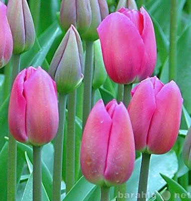 как вырастить: тюльпаны