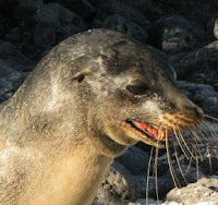 Sea Lion in the Galapagos Islands on the Volcanic Rocks