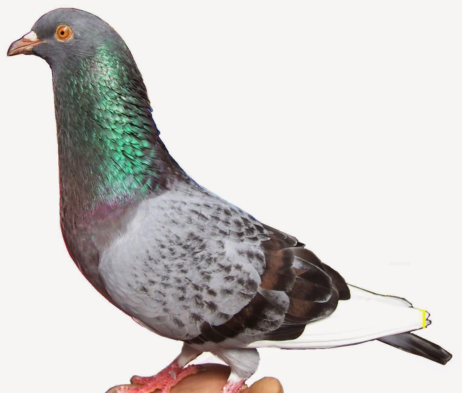 Foto Burung Merpati Balap Jantan