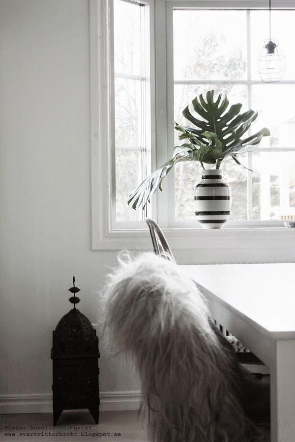 monstera, kvistar, stjälkar, blomsterbutik i Göteborg, gröna växter som snittblommor, snittblomma, grön växt, växten, kähler, kählervas, svart och vit randig vas, svartvitt, vitt, vita,