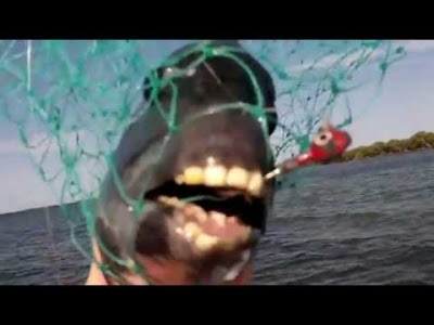 WATCH: This type of Fish has human teeth and it Really ...