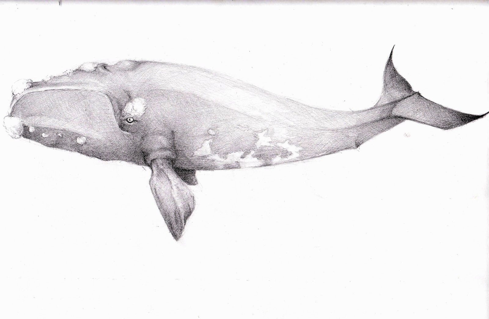 They Need A Voice: Baleen Whales