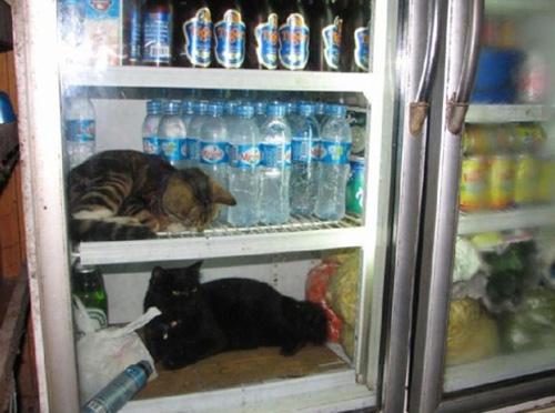 Gatos na geladeira
