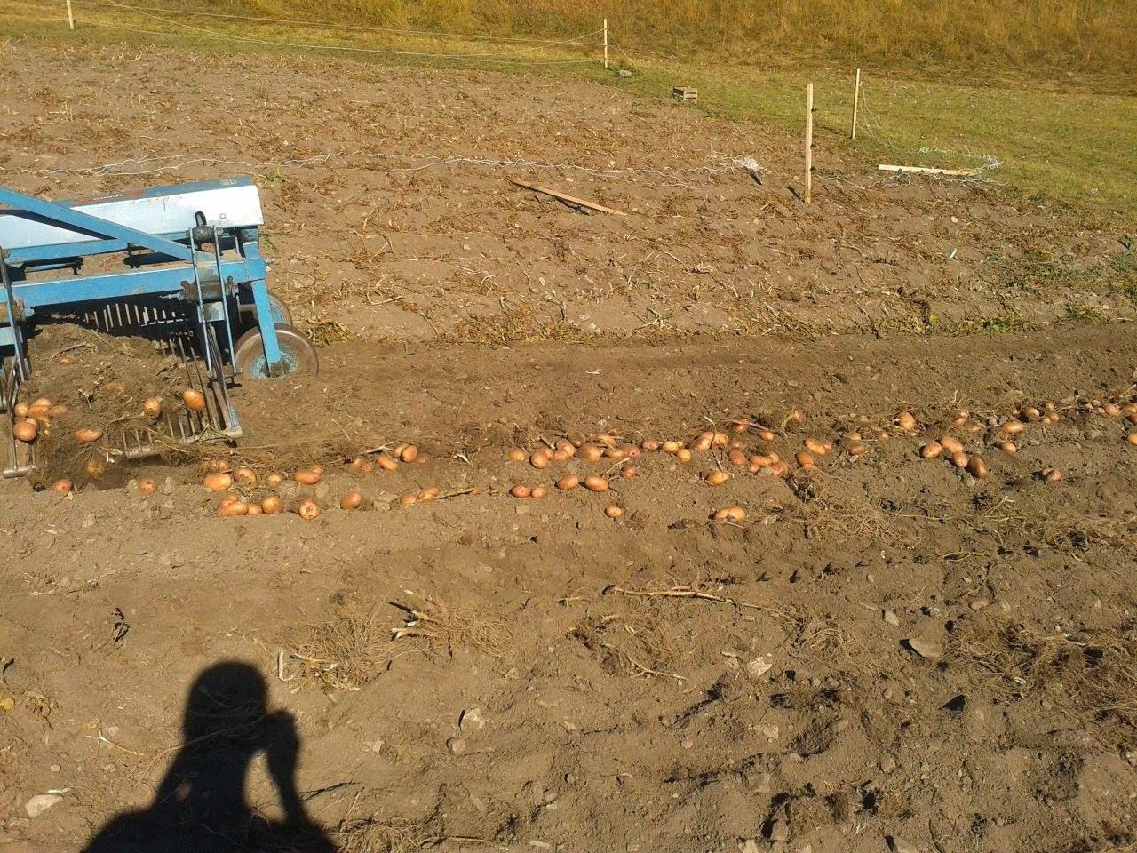 Azienda agricola l 39 four raccolta patate 2014 for Raccolta patate