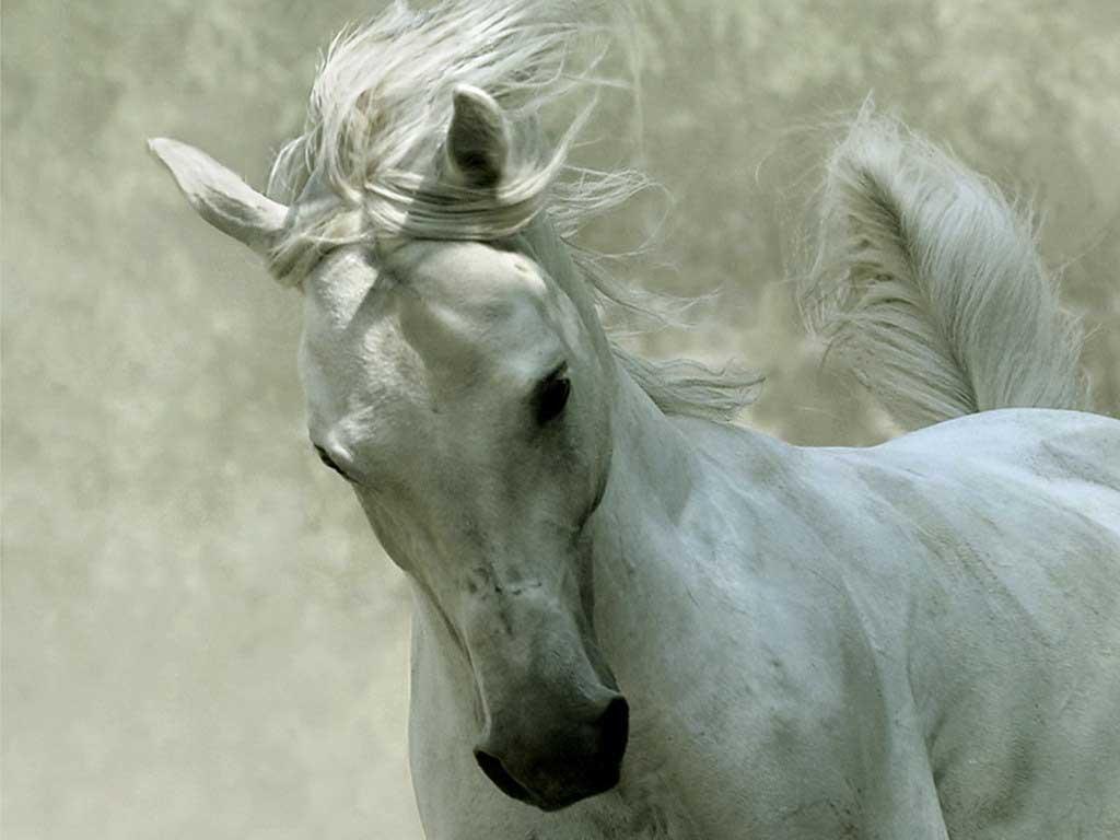 White-Horse-Wallpapers.jpg
