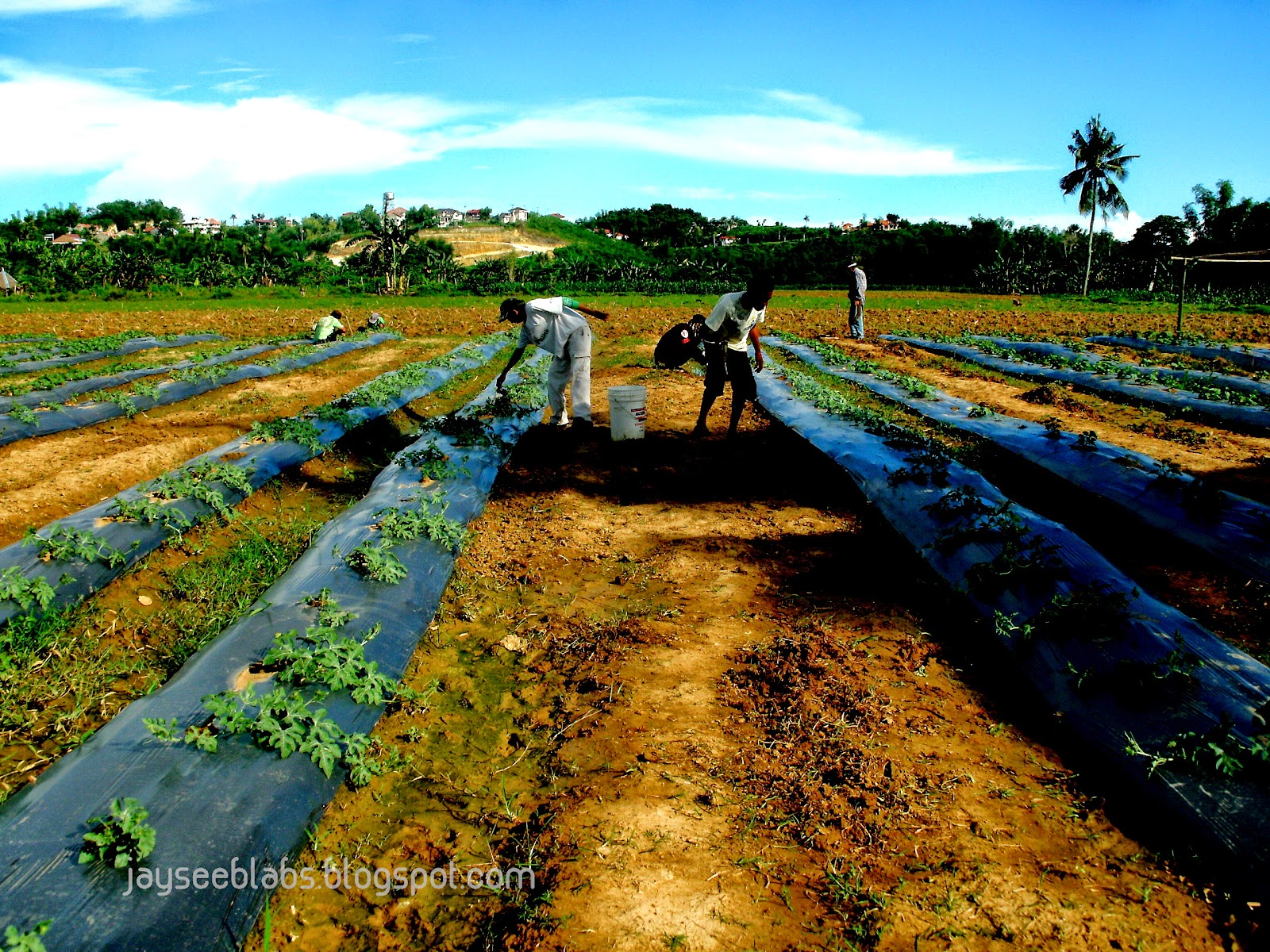 Consolacion Cebu Philippines.  You will only appreciate what our hero farmers are doing once you really get in under the sun, work long hours, work hungry and thirsty and work without complaining.