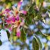 The Silk Floss Tree