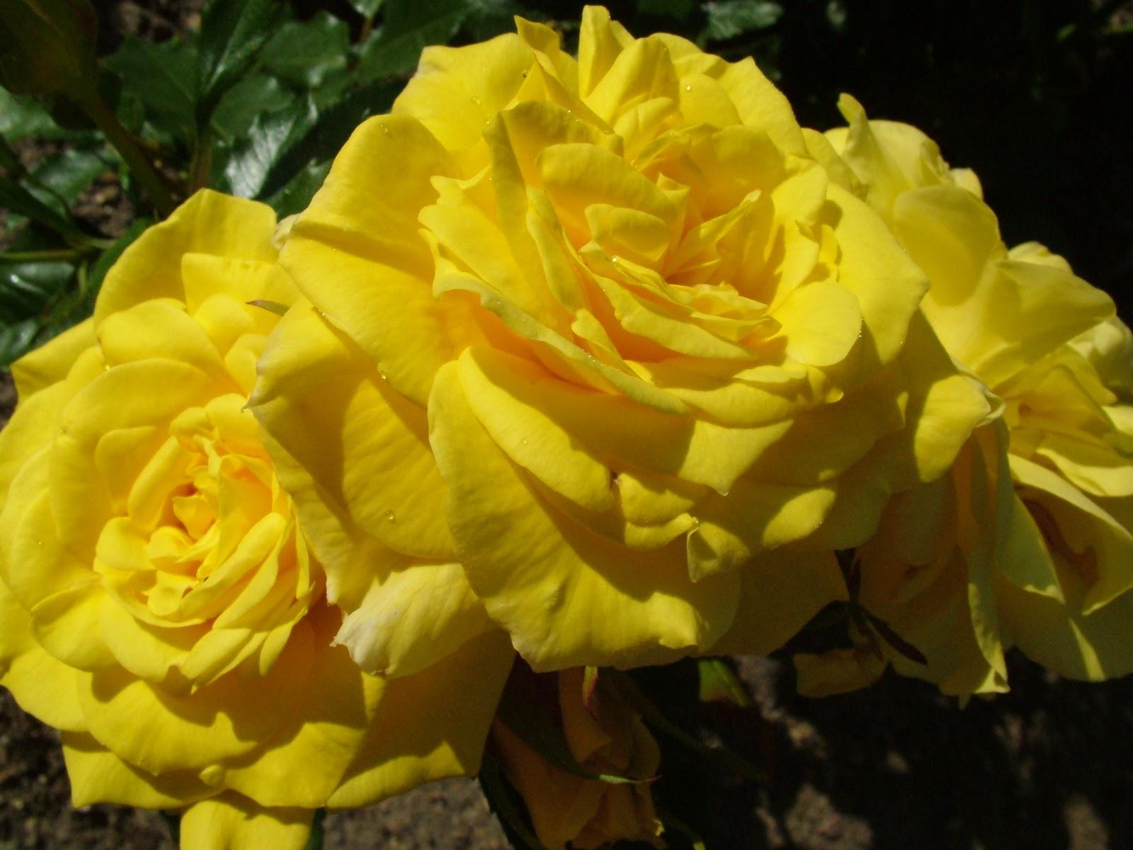 http://1.bp.blogspot.com/-4XSS2nFoaQI/TV32odmS8lI/AAAAAAAAJA4/qWt00_A_XFw/s1600/yellow+rose+flowers+wallpapers+%25287%2529.jpg