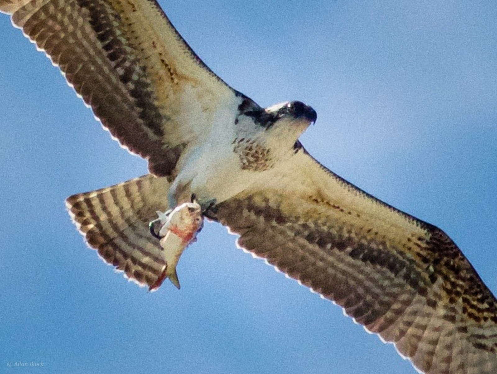 If You Dont Hunt Eatin This Case Fish The Osprey Is A Hawk That Fishes Thats Unique Among Hawks Nearly Entire Diet Of