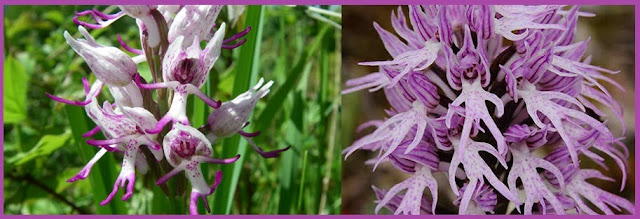 Orchis italica or naked man orchid is found in Mediterrenean