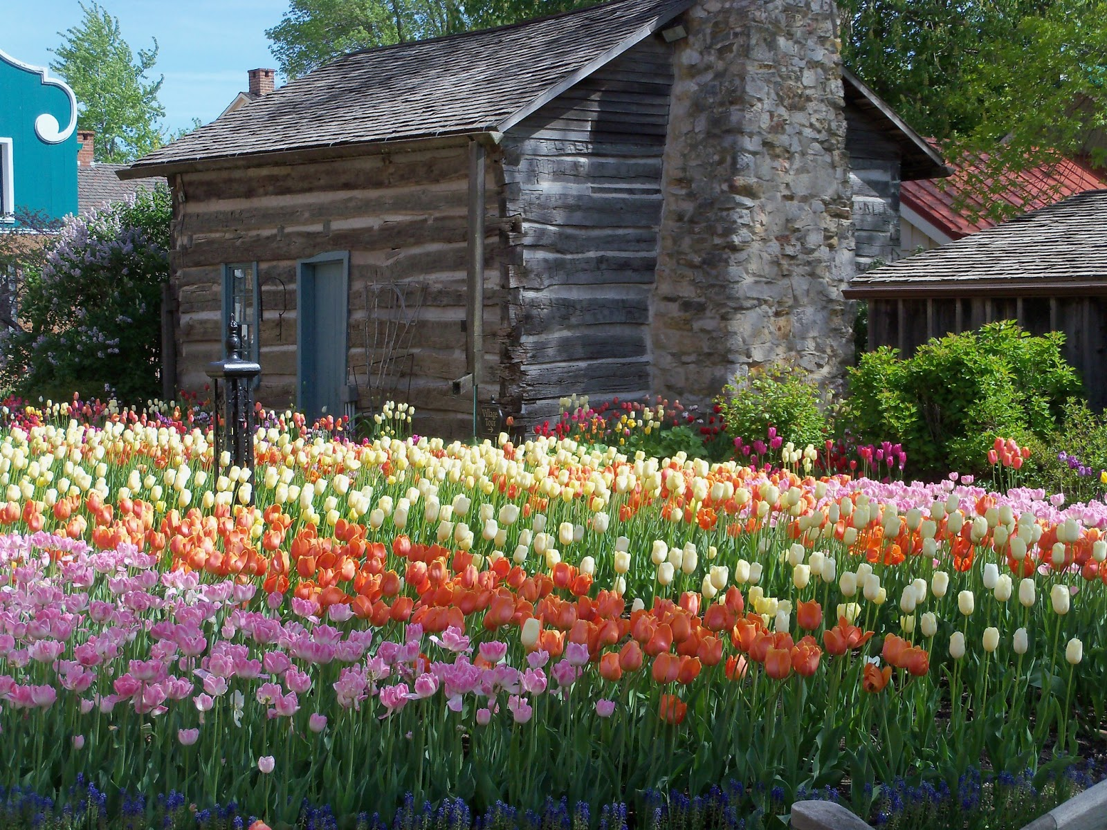 Beyond The Garden Gate It 39 S Tulip Time