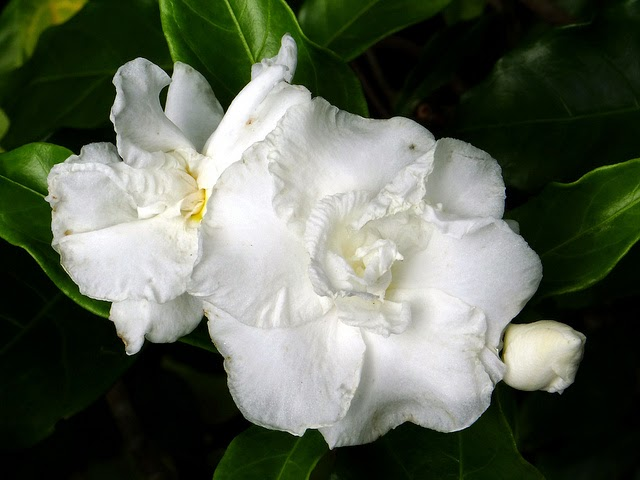 Waxy white flower gallery flower decoration ideas tree with waxy leaves and large white flowers images flower pashudhan and animal science crape jasmine mightylinksfo