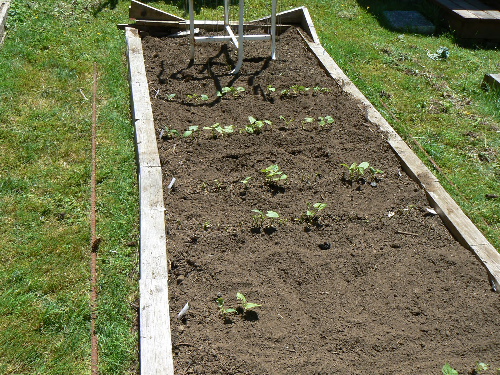 The Trinidad Garden: Bean disaster, weeding, tilling (or not), and ...