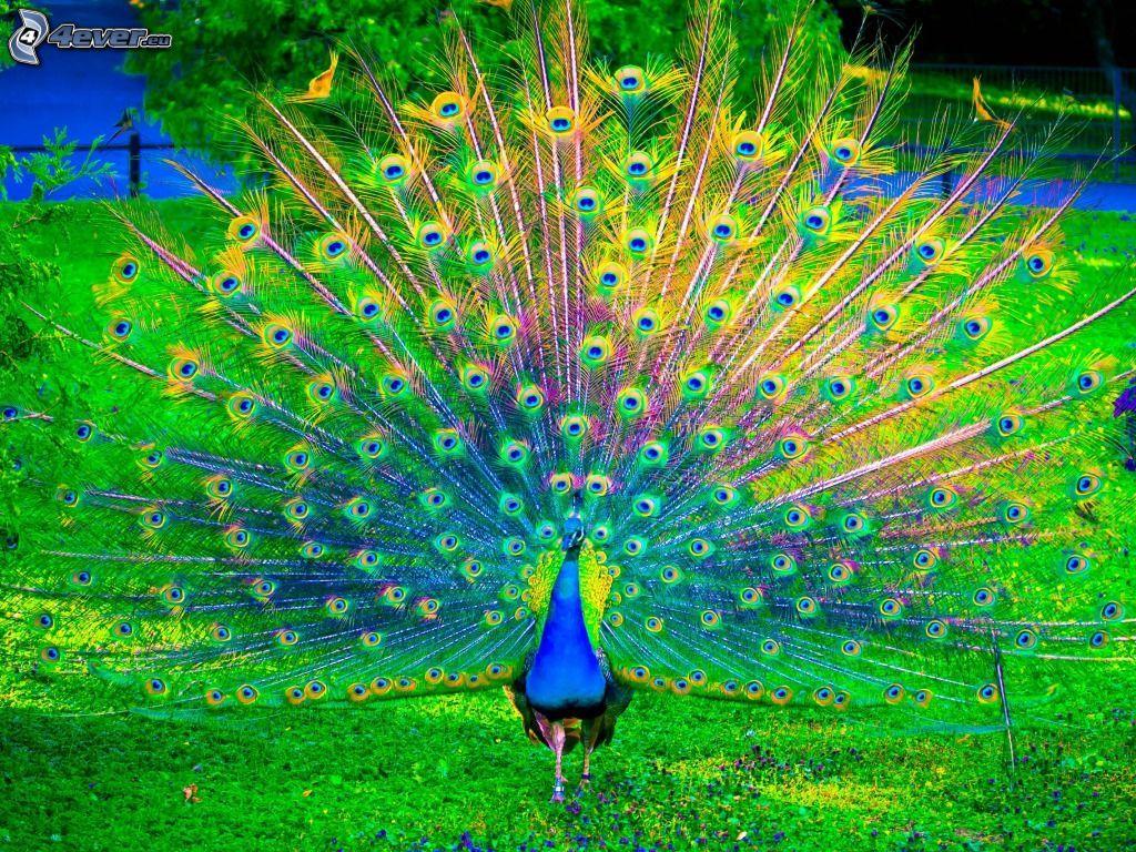 Un pavo real en el reino de los ping inos pedro pavo real - Fotos de un pavo real ...