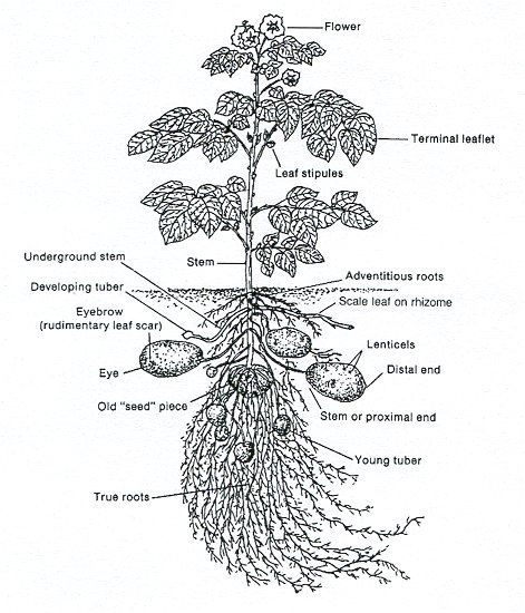 Flowering Plant Diagram Kindergarten Plant Diagram