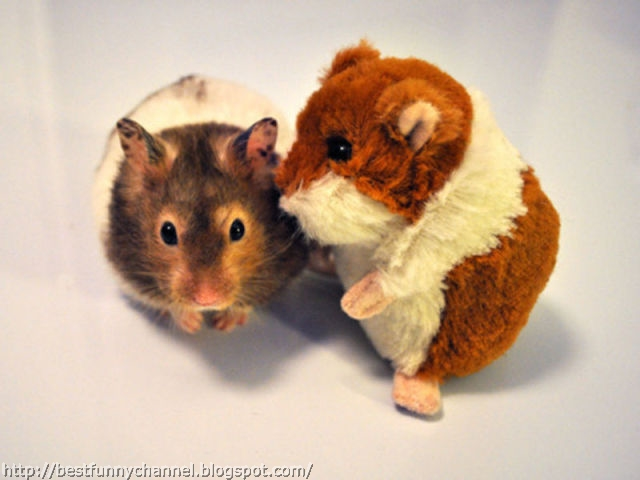 Hamster and toy.