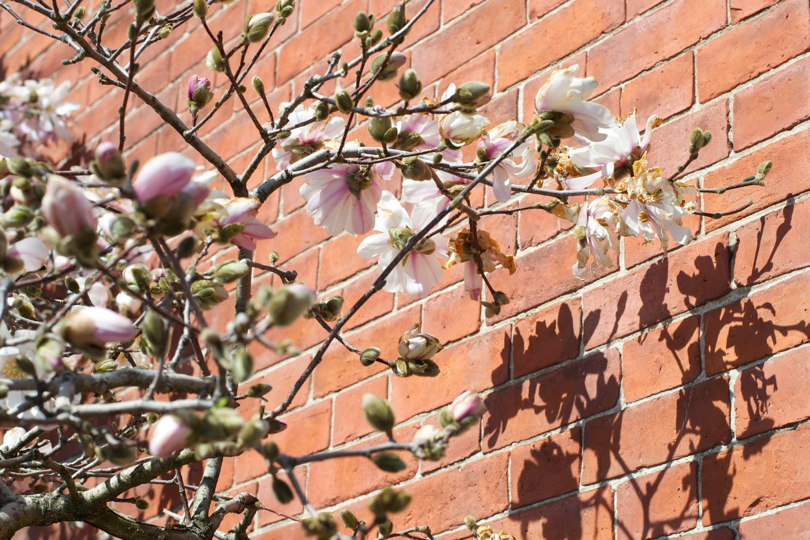Magnolia tree blooming and casting shadows against a brick building down town.