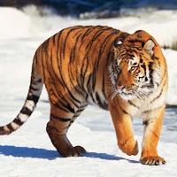 tigre animal