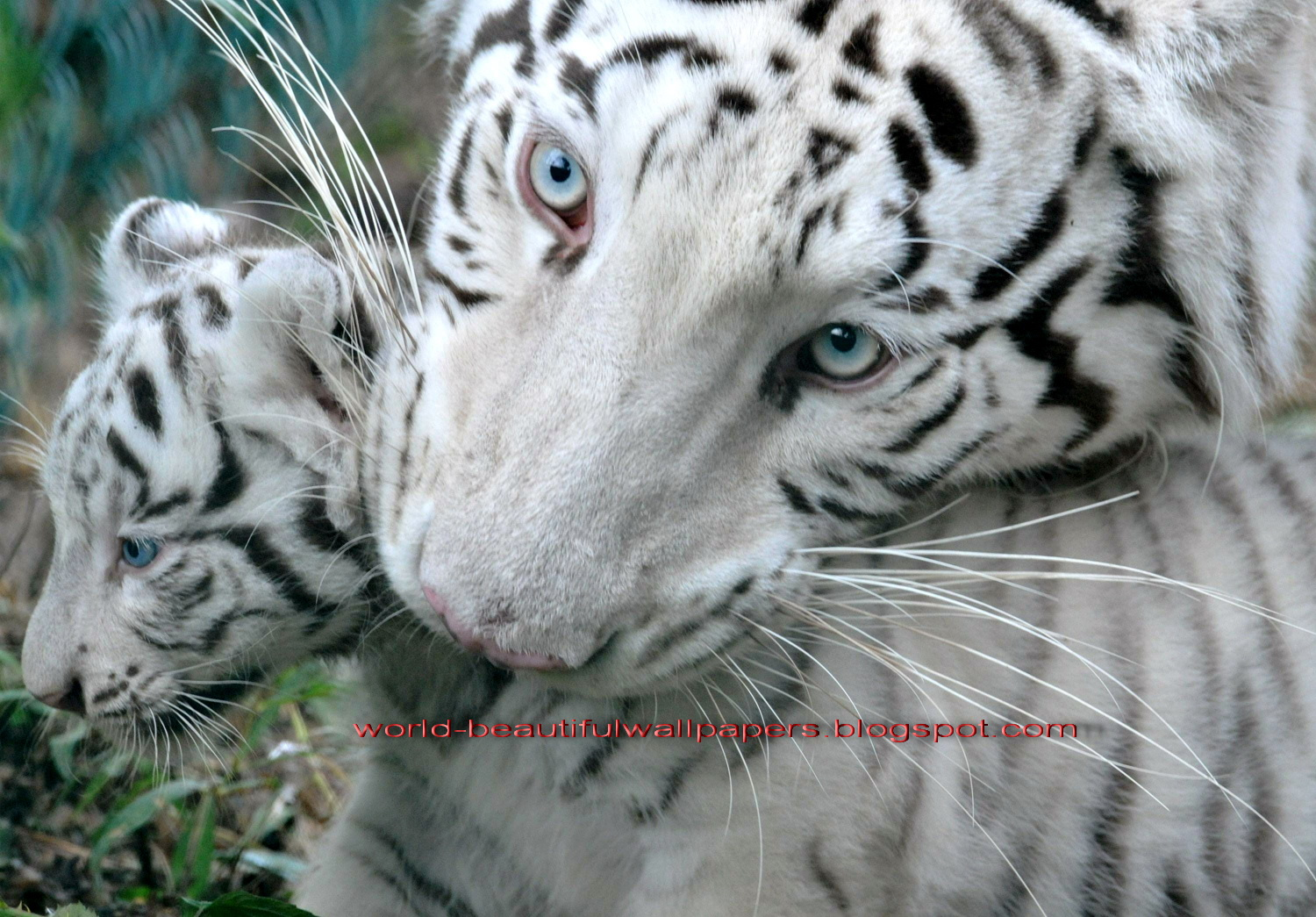 Beautiful Wallpapers: white bengal tiger pictures