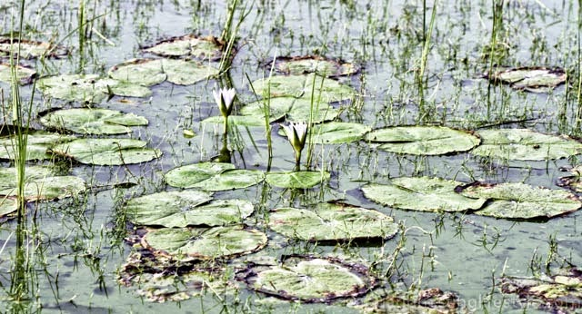 how to take care of water lilies