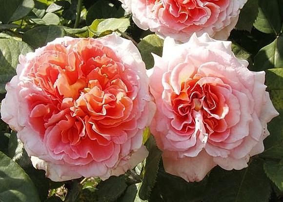 Notre Dame du Rosaire rose сорт розы фото