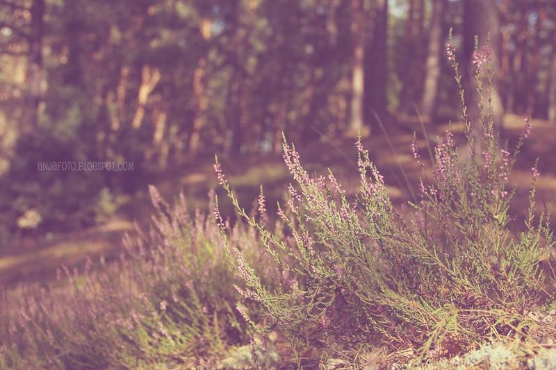 wrzosy, wrzosowisko, las