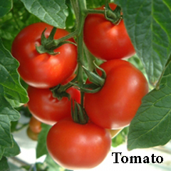 how to grow tomatoes ffrom a seed