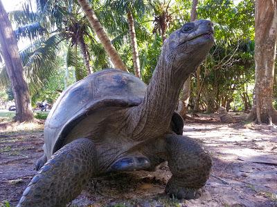 Riesenschildkröte auf Curieuse, Seychellen
