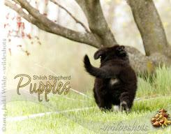 2015 Shiloh Puppy Calendar