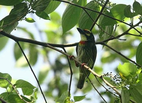 Birds Coppersmith Barbet at Chintamani kar bird sanctuary. by Prakriti Bhalopahar