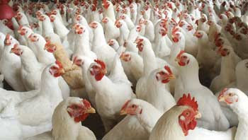 This Is An Attempt To Starting A Business In Kerala New Business Ideas Home Business Ideas How To Start Poultry Business Poultry Poultry Farms New Business