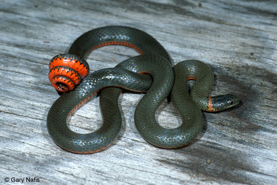 What Kind Of Snake Is Black With Gold Rings