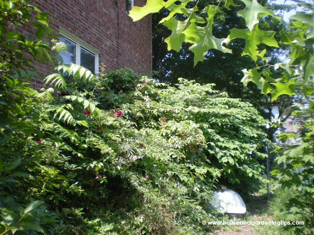 Plants Gone Wild: There is actually a driveway under there and a house for that matter.