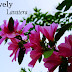 How Does Your Garden Grow - Lovely Lavatera