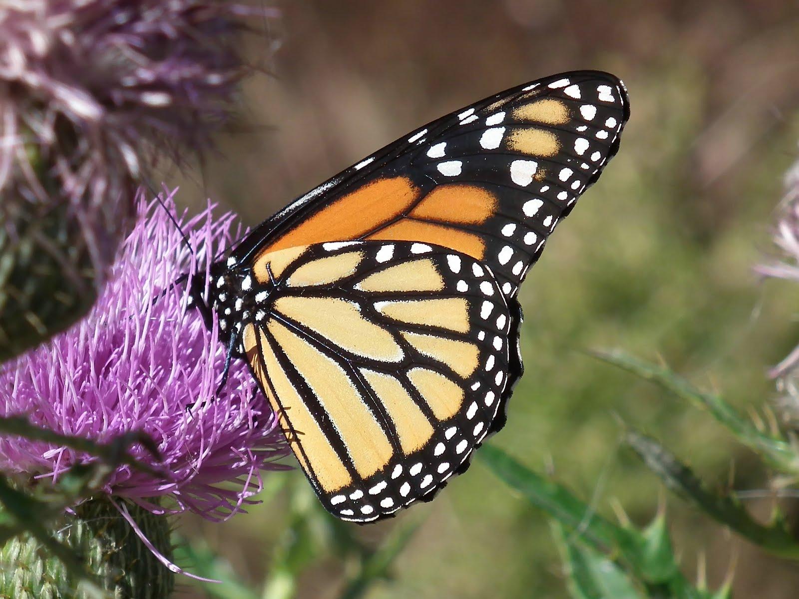 Monarch butterfly wings - photo#10