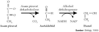 tahapan fermentasi alkohol