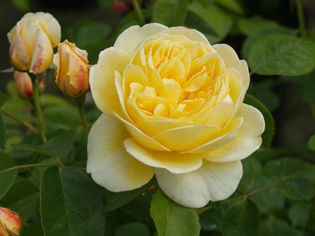 lime cross nursery david austin english roses. Black Bedroom Furniture Sets. Home Design Ideas