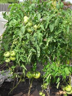 куст помидора Русский Богатырь