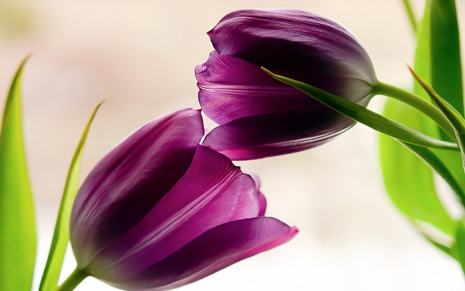 Flowers World Beautiful Tulips Flowers