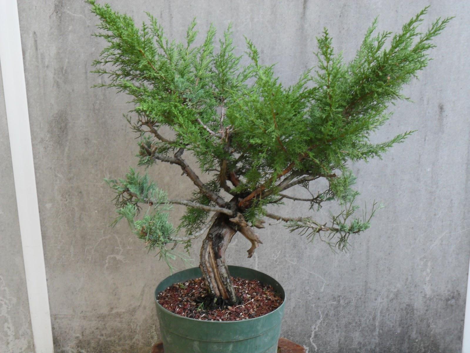Associazione dlf bonsai legnago ottobre 2012 for Acquisto piante ulivo