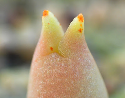 Echinocactus polycephalus seedling showing rusty spots